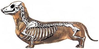 dachshund-back-problems